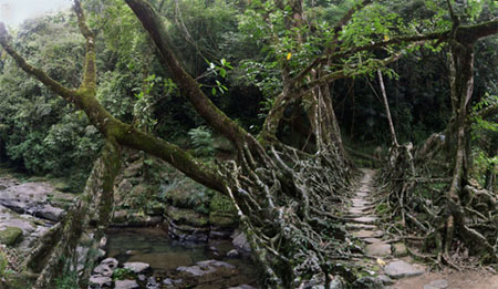 Live Root Bridge