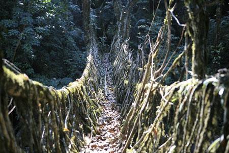Live Root Bridge